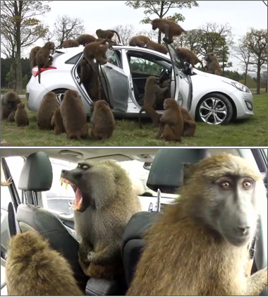 Hyundai Hands Hatchback Passes the Monkey Test